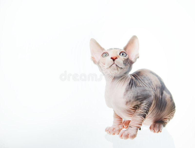 Download Funny Sphinx Cat Looking Up Stock Image - Image: 5806481