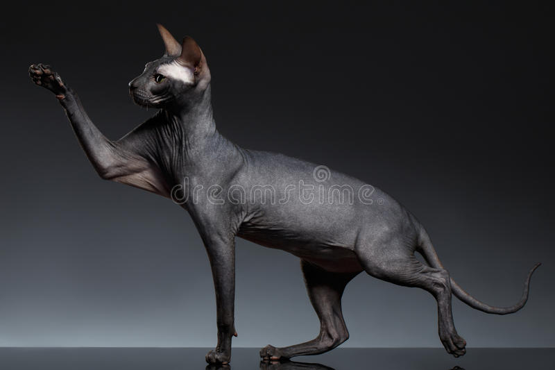 Funny Sphynx Cat Stands and Raising up paw on Black. Background royalty free stock photo