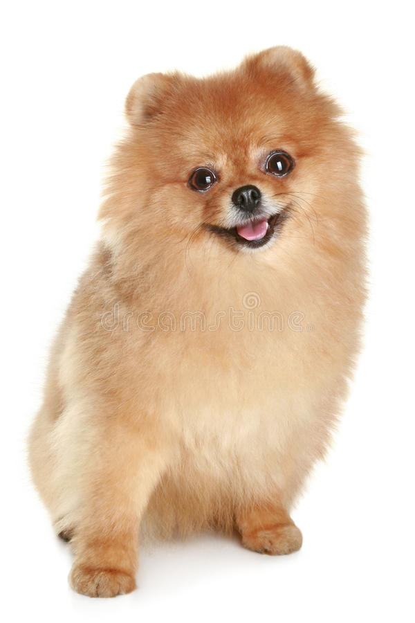 Funny spitz-dog. Ridiculous spitz-dog sits on a white background royalty free stock photos