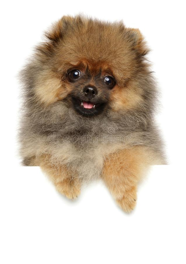Funny Spitz dog puppy above white banner stock image