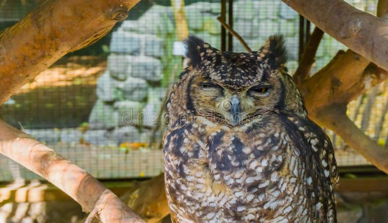 Funny spotted eagle owl making a very angry face closeup wildlife animal bird portrait royalty free stock photography
