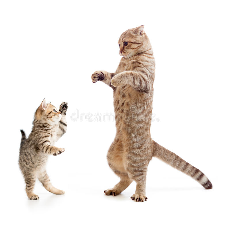 Funny standing kitten and cat. Isolated royalty free stock photo