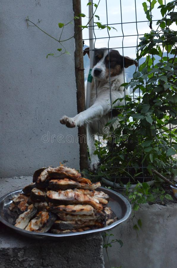 Hungry stray dog wants food. Hungry dog stretching his leg through the fence trying to reach for fried fish. Attention buyers: high ISO stock image