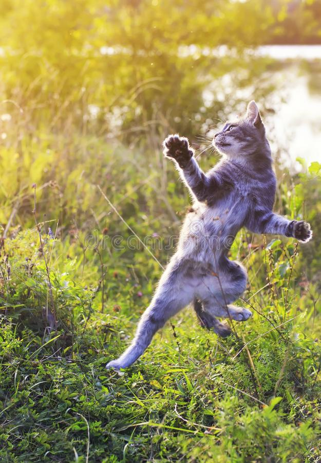 Funny striped cat jumping on a green meadow standing on its hind royalty free stock photo