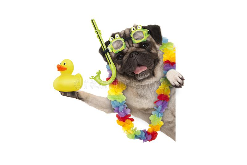 Funny summer pug dog with hawaiian flower garland, snorkel and goggles, holding up yellow ducky. Isolated on white background royalty free stock image