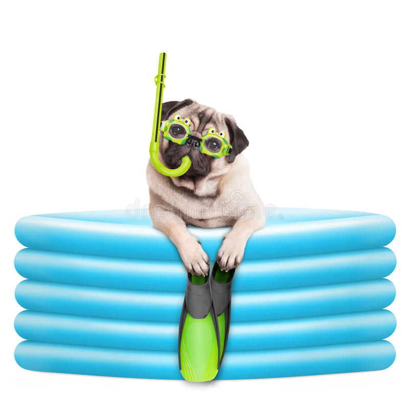 Funny summerly pug dog with goggles, snorkel and flippers in inflatable pool. Isolated on white background stock images