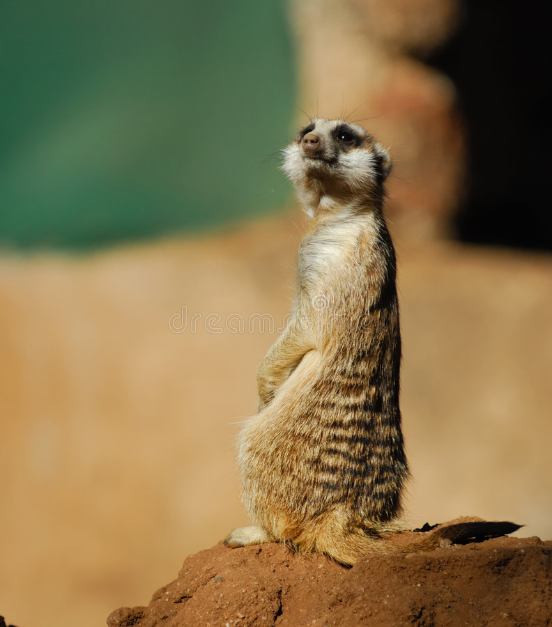 Download Funny Suricate Stock Photos - Image: 6952793