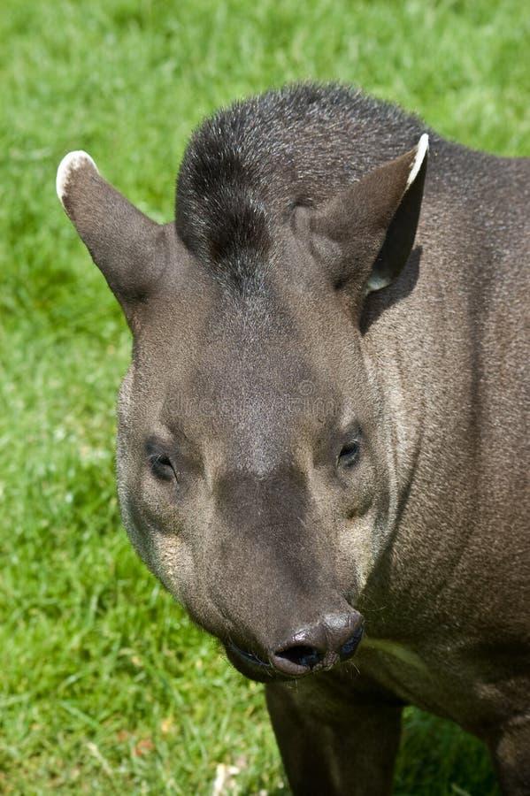 Download Funny tapir stock photo. Image of wildlife, nature, animal - 10352184