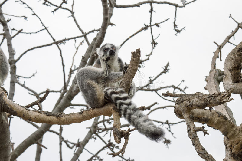 Funny Thinking Lemur stock image
