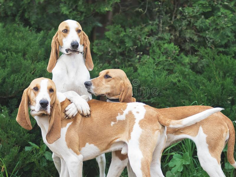 Funny Three hunting dogs a beagle free in the park royalty free stock photography