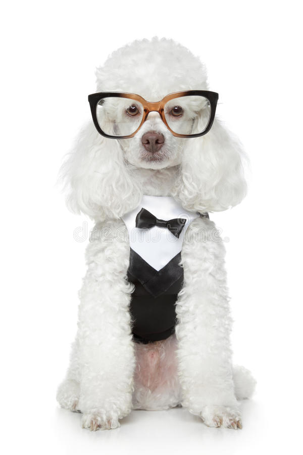 Funny Toy Poodle in a tuxedo and glasses. On a white background stock photography
