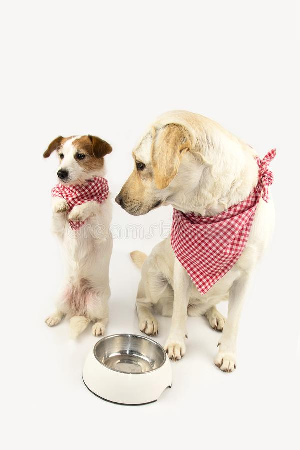 FUNNY TWO DOGS BEGGING FOOD. LABRADOR AND JACK RUSSELL WAITING FOR EAT WITH A EMPTY BOWL. STANDING ON TWO HIND LEGS. DRESSED WITH stock photos