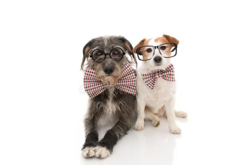 FUNNY TWO DOGS CELEBRATING A BIRTHDAY OR NEW YEAR WEARING VINTAGE BOWTIE AND BLACK GLASSES. ISOLATED ON WHITE BACKGROUND.  royalty free stock photo