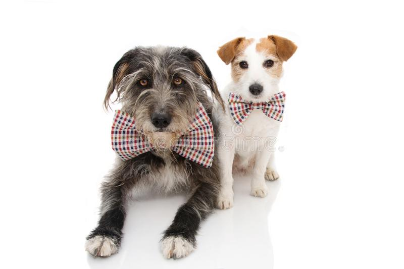 FUNNY TWO DOGS CELEBRATING A BIRTHDAY OR NEW YEAR WEARING VINTAGE BOWTIE. ISOLATED ON WHITE BACKGROUND.  royalty free stock images