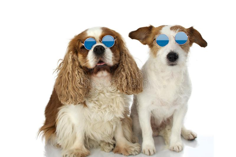FUNNY TWO DOGS WEARING SUMMER EYEGLASSES. ISOLATED STUDIO SHOT AGAINST WHITE BACKGROUND.  stock photo