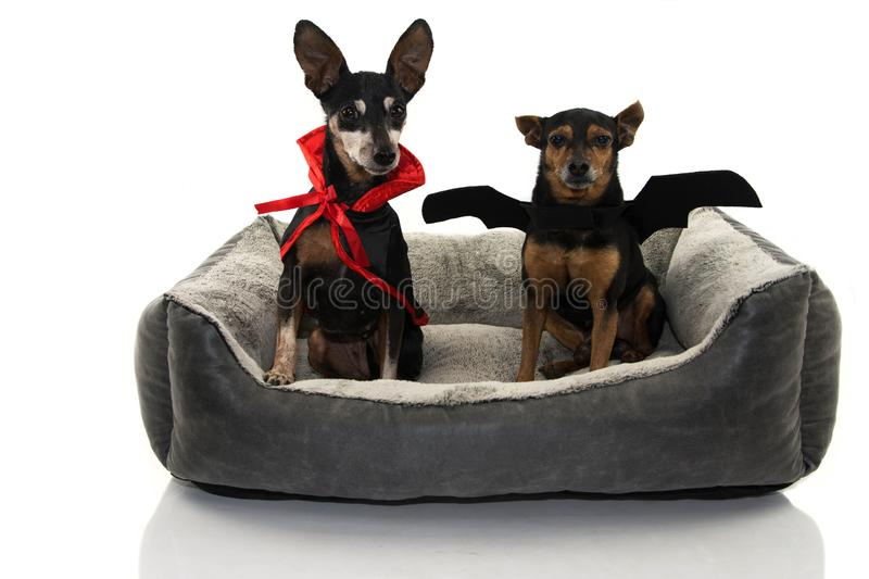 FUNNY TWO DOS DRESSED WITH A VAMPIRE AND BAT COSTUME FOR HALLOWEEN OR CARNIVAL SITTING ON A PET BED. ISOLATED AGAINST WHITE royalty free stock photography