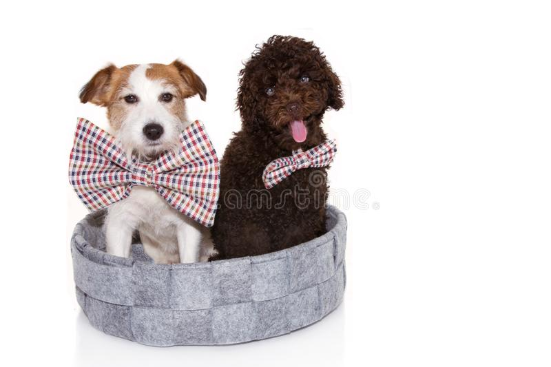 Funny two elegant dogs wearing checkered bowtie inside of a pet bed. Isolated on white background. celebrating a party royalty free stock image