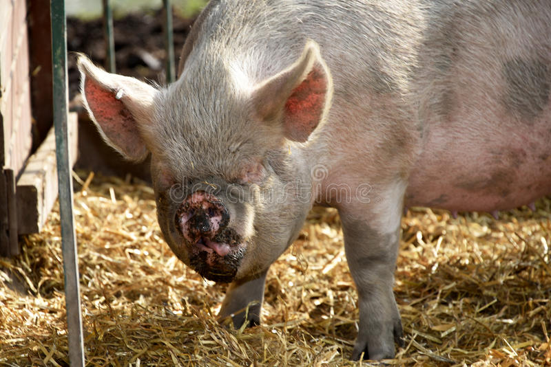 Funny ugly pig stock photography