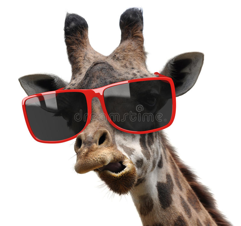 Funny vogue fashion portrait of a giraffe with modern hipster sunglasses. A giraffe with very stylish red sunglasses making a funny face stock photography