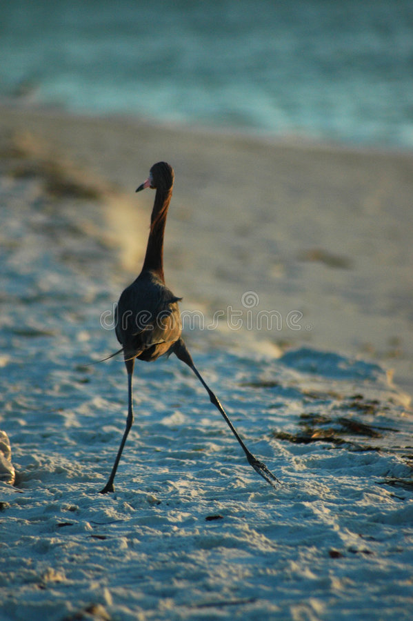 Download Funny Walk stock photo. Image of reddish, bird, sunset - 175884