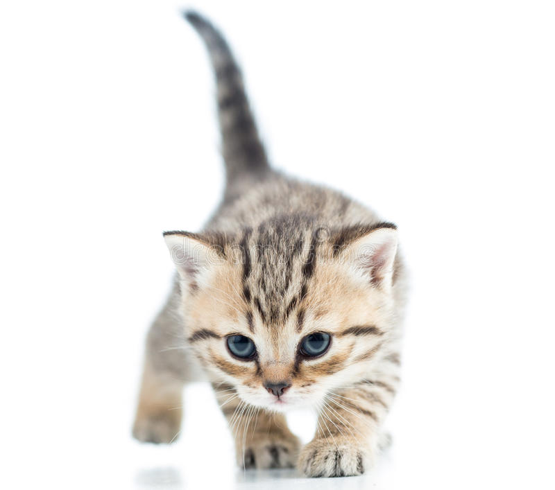 Download Funny Walking Cat Kitten Royalty Free Stock Images - Image: 36333179