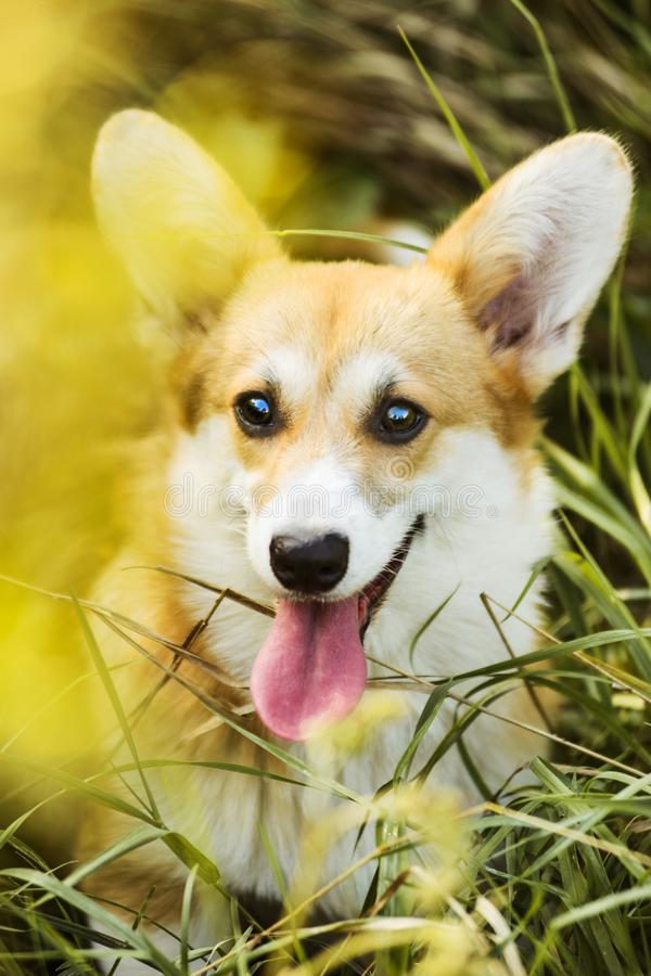 Funny Welsh Corgi Pembroke sitting in grass stock images