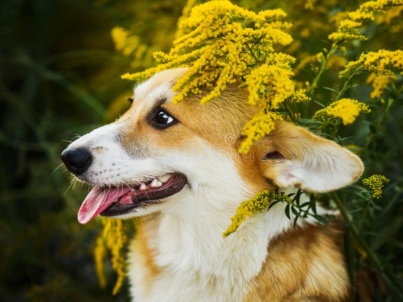 Funny Welsh Corgi Pembroke sitting in yellow flowers royalty free stock photography