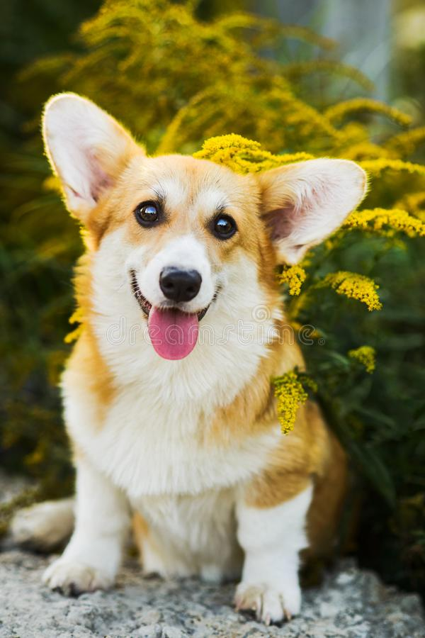 Funny Welsh Corgi Pembroke sitting in yellow flowers royalty free stock image