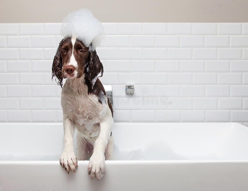 Funny Wet Dog Wants Out of Tub. Funny dog in bathtub with suds on head getting ready to jump out stock photography