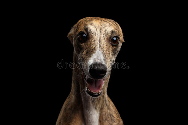 Funny Whippet Dog on Black Background. Funny Portrait of Whippet Dog Curious Stare in Camera on Isolated Black Background royalty free stock photos