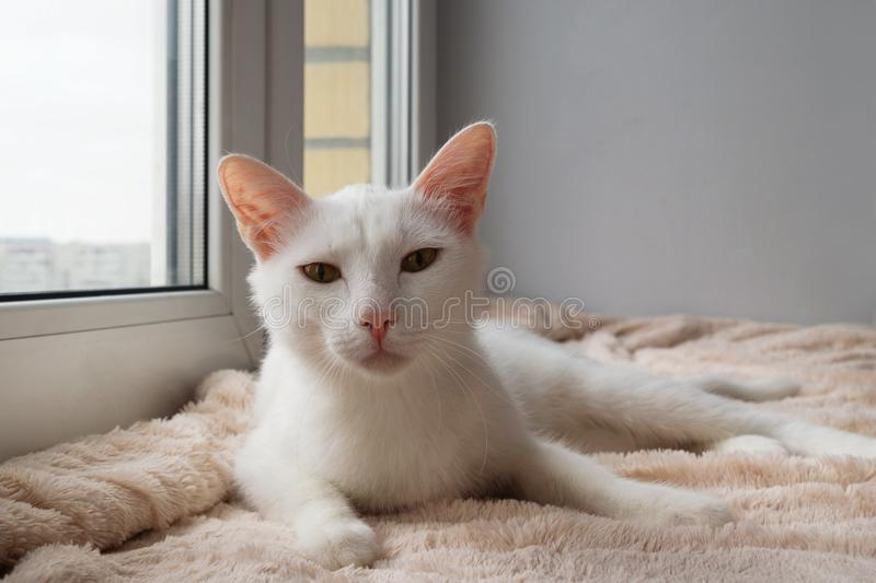 Funny white cat with green eyes is lying near to the window and looking into the camera. Funny white cat with green eyes is lying on a pink blanket near to the royalty free stock photography