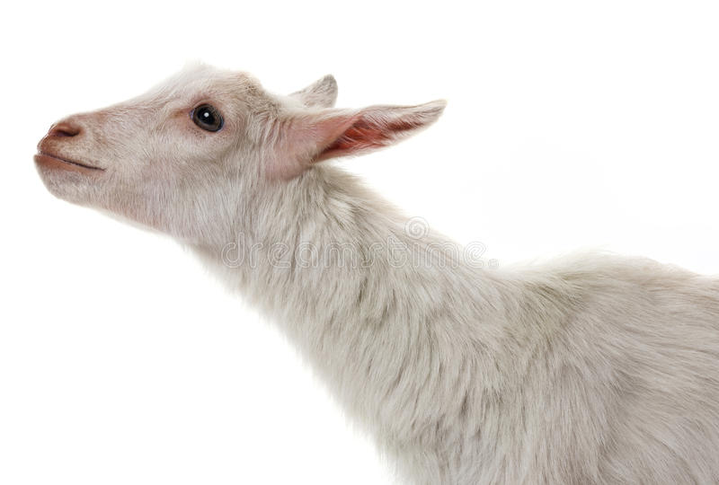 A funny white goat stock photography