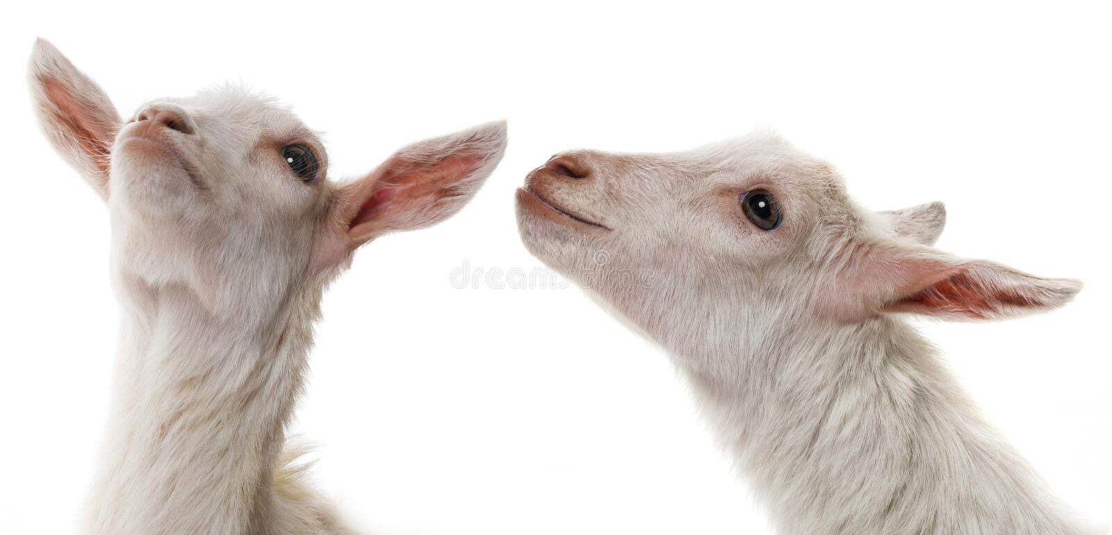 Funny white goats stock photography