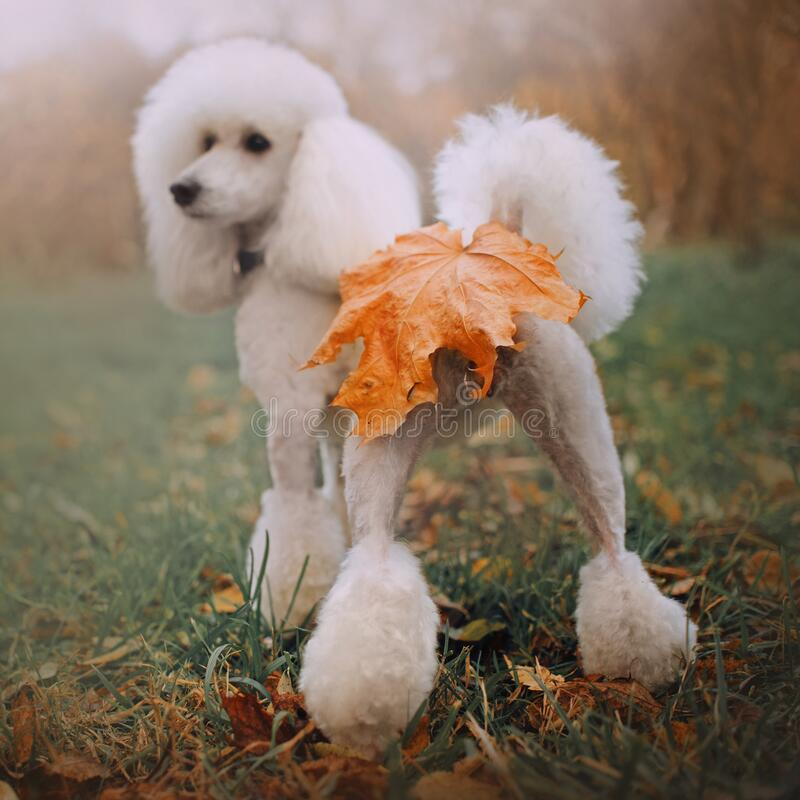 Free Funny White Poodle Dog With Fallen Leaf On Butt, Rear View Stock Image - 183370341