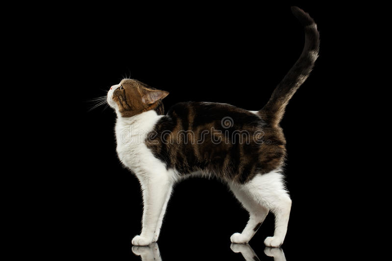 Funny White Scottish Straight Cat Standing in Black Background stock photos