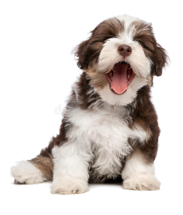 Funny yawning chocholate havanese puppy dog stock images
