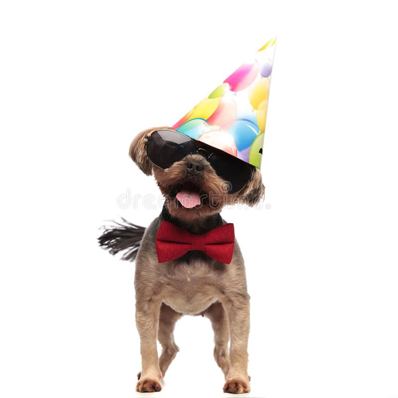 Funny yorkshire terrier wearing birthday hat on white background. Funny yorkshire terrier wearing birthdat party, sunglasses and red bowtie, sticking out tongue stock image