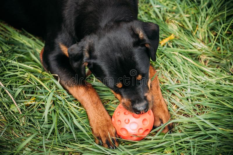 Funny Young Black Rottweiler Metzgerhund Puppy Dog Play With Ball In Green Grass In Summer Park Outdoor. Rott, Rottie. Funny Young Black Rottweiler Metzgerhund royalty free stock photo