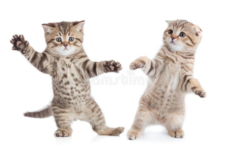 Funny young cats dancing stock photography