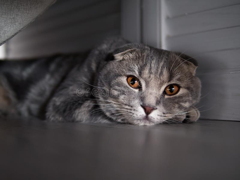 Funny scottish fold cat with bright yellow eyes hiding in shade under the bed royalty free stock images