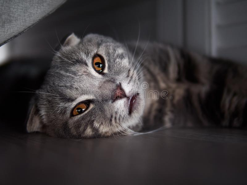 Funny scottish fold cat with bright yellow eyes hiding in shade under the bed. Funny young gorgeous scottish fold cat with bright yellow eyes hiding in shade stock images