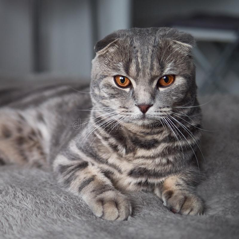 Funny serious scottish fold cat with bright yellow eyes lies on plaid royalty free stock photos