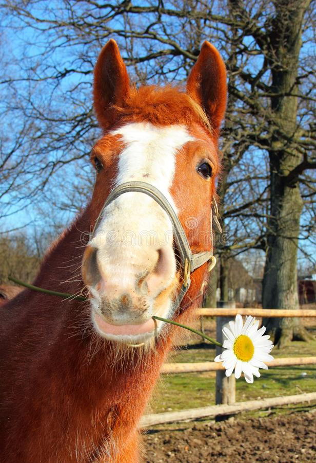 Funny Young Horse With a Camomile. Portrait of a cheerful young horse with a camomile in the mouth stock photos