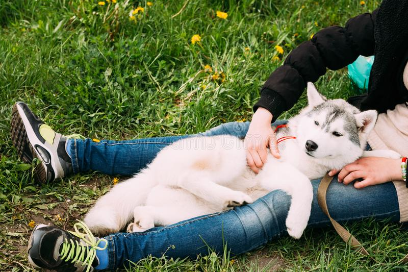 Funny Young Husky Puppy Dog Sits In Girl Embrace In Green Grass. Funny Happy Young Husky Puppy Dog Sits In Girl Embrace In Green Grass In Summer Park Outdoor stock images