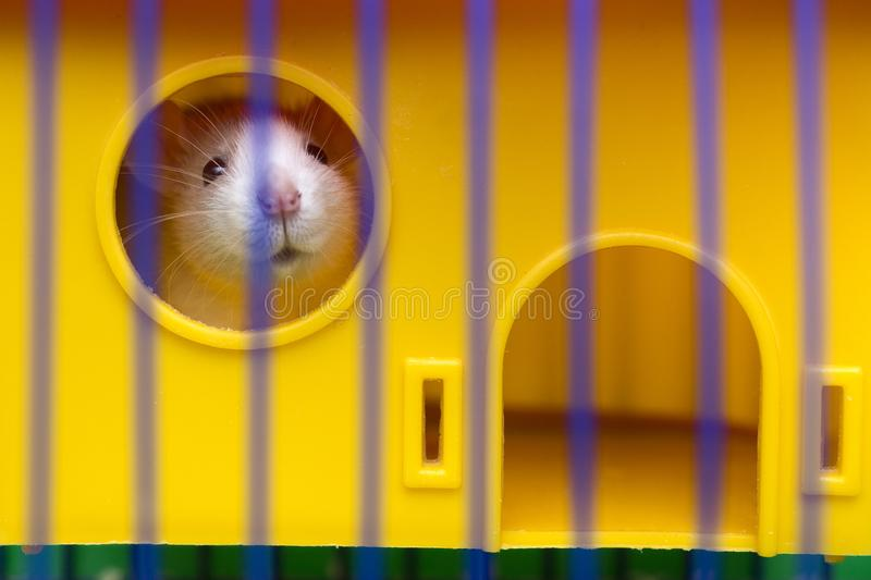 Funny young white and gray tame curious mouse hamster baby with shiny eyes looking from bright yellow cage through bars. Keeping royalty free stock image