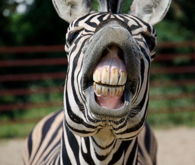 Funny zebra. Open mouth and show teeth