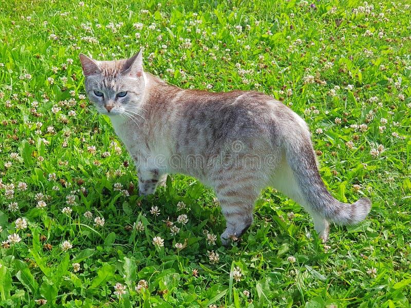 Funzionamenti del gatto attraverso il prato inglese immagini stock libere da diritti