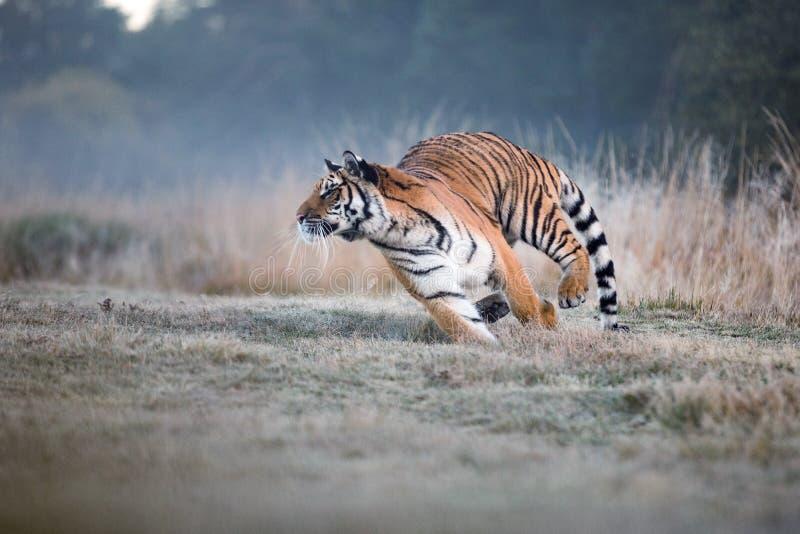 Funzionamenti della tigre dietro la preda Cerchi la preda in tajga nell'ora legale Tigre in natura selvaggia di estate Scena dell fotografia stock