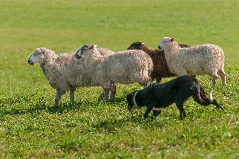 Funzionamenti di riserva del cane con il gruppo di ovis aries delle pecore fotografie stock
