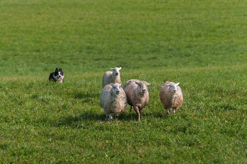 Funzionamenti di riserva del cane dentro dietro il gruppo di ovis aries delle pecore immagini stock libere da diritti